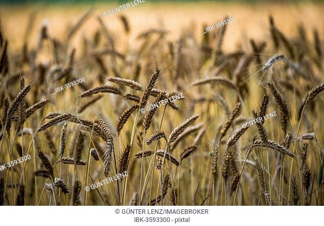 Ears of wheat in a grainfield, Munich, Upper Bavaria, Bavaria, Germany