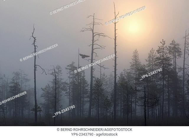 misty coniferous forest with flying Common Raven (Corvus corax) at sunrise, Kainuu, Finland