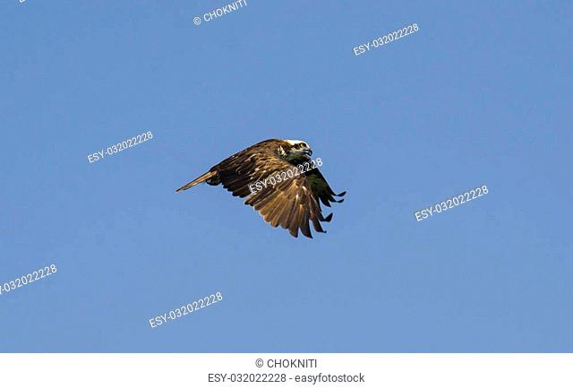 This Osprey is flying over his area on the eternal quest for food