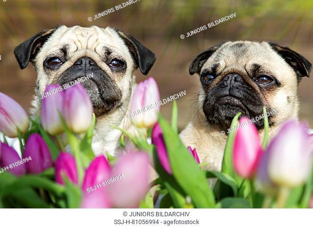 Pug. Pair of adult females looking over tulip flowers. Germany
