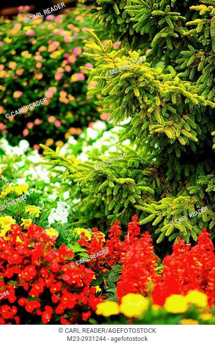 An evergreen intrudes into a flower garden, Pennsylvania, USA