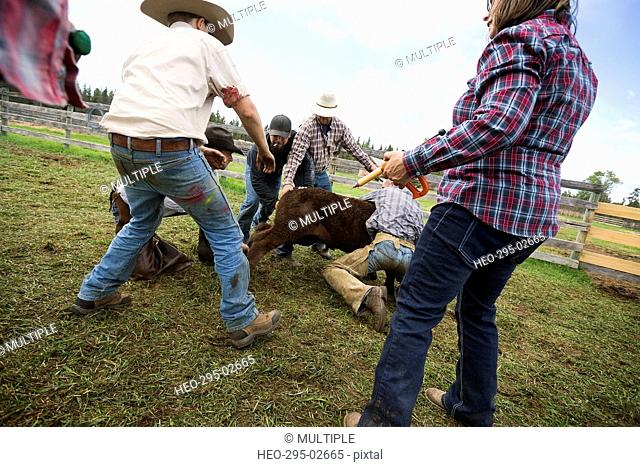 Cattle ranchers preparing cow for vaccination