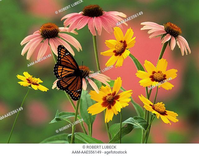 Viceroy Butterfly in Garden Flowers (Limenitis archippus), Adirondacks, NY