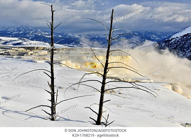 Dead snags and snow above Canary Spring, Yellowstone NP, Mammoth Hot Springs, Wyoming, USA