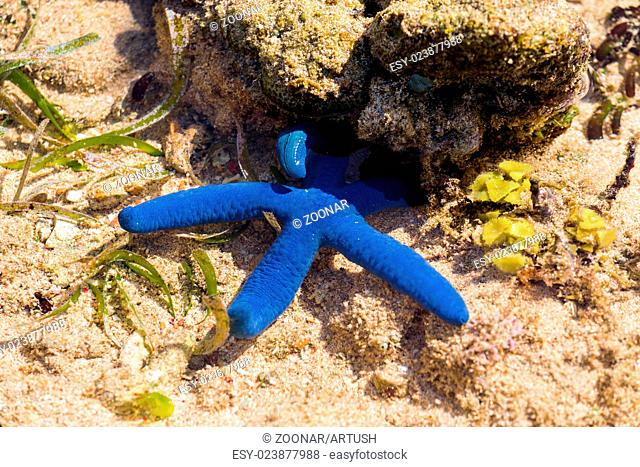 blue starfish in low tide, indonesia