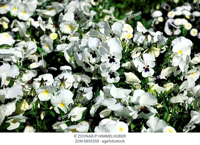 Viola x wittrockiana, Stiefmütterchen, Pansy