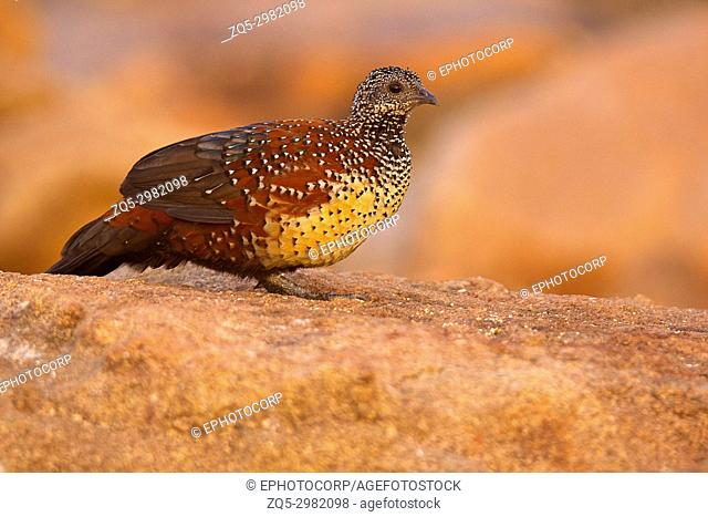 Painted Spurfowl, Galloperdix lunulata, male , Hampi, Karnataka, India