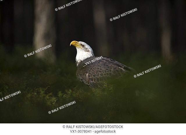 Bald Eagle ( Haliaeetus leucocephalus ), sits in spotlight, in the undergrowth of dark woods