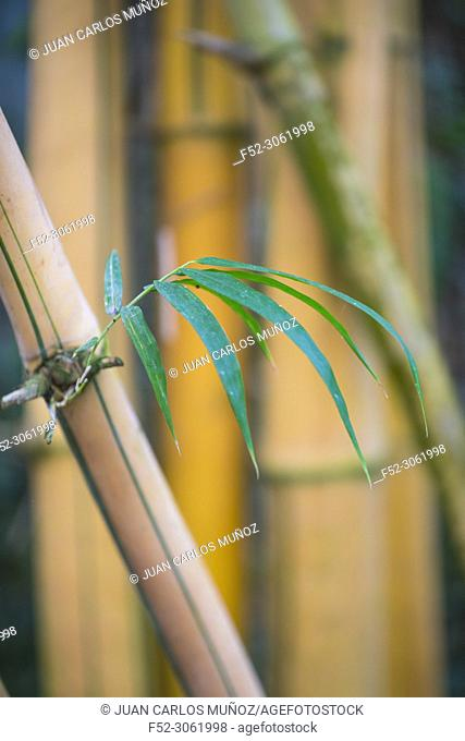 Closeup of bamboo stalk, China