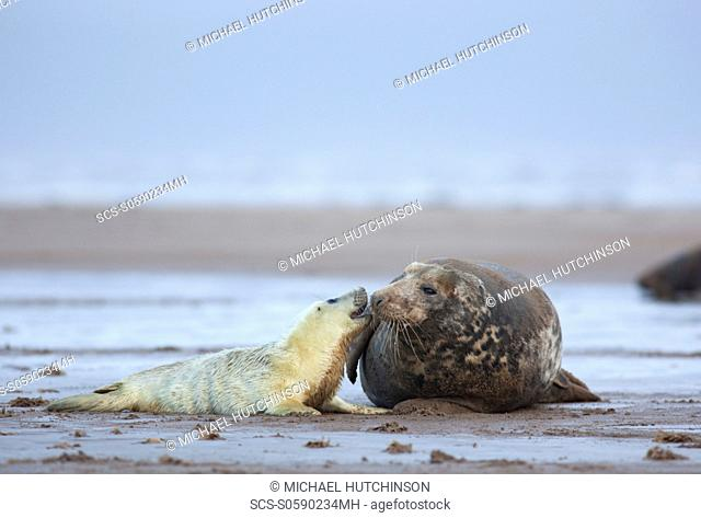 Grey Seal Halichoerus grypus pup interacting with adult female mother November Donna Nook, Lincolnshire, UK