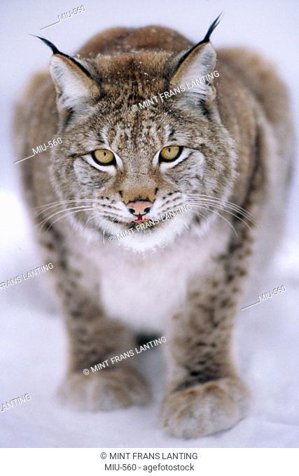 Eurasian lynx in snow, Lynx lynx, Finland