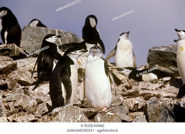 Chinstrap Penguins (Pygoscelis antarctica), Half Moon Island, Antarctica