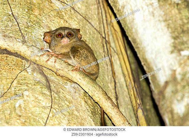 Spectral tarsier - Tarsius tarsier, Tangkoko Nature Reserve, North Sulawesi, Indonesia