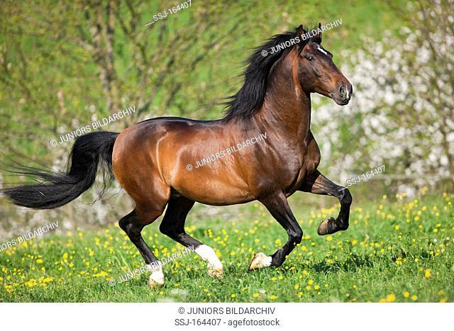 Lusitano horse on meadow