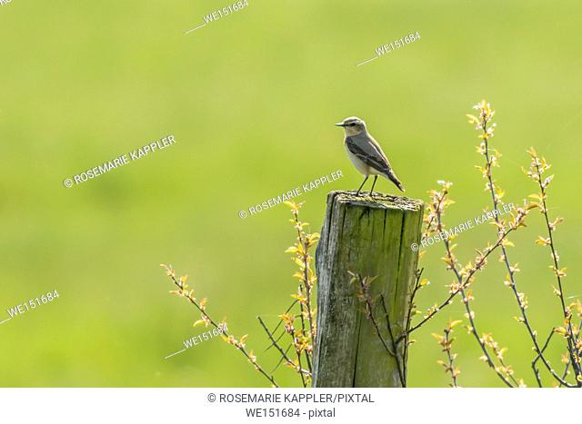 germany, saarland, bexbach, A common wheatear on his vantage point