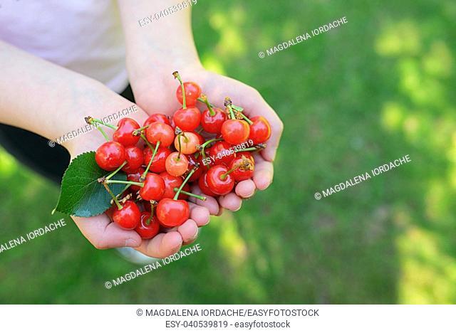 Handful of fresh cherries in summer garden