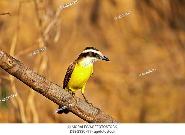 South America,Brazil,Mato Grosso,Pantanal area,Lesser Kiskadee (Philohydor lictor) adult, perched
