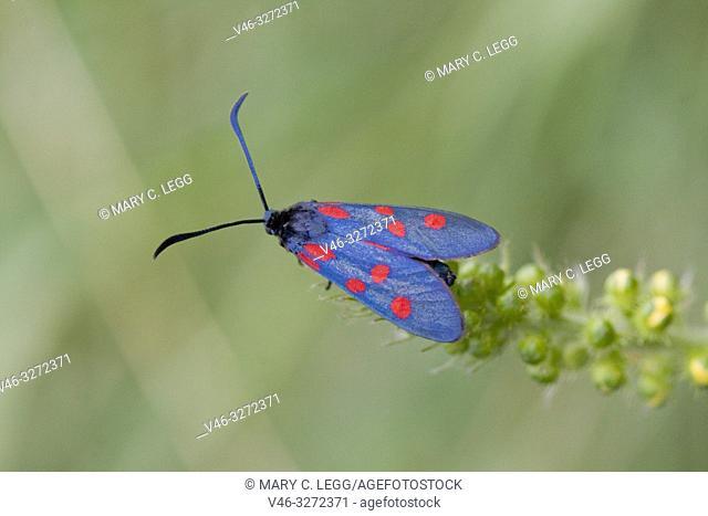 Narrow-bordered Five-spot Burnet, Zygaena lonicerae, a midnight blue moth with five red spots found in calcareous grasslands amd juniper heath
