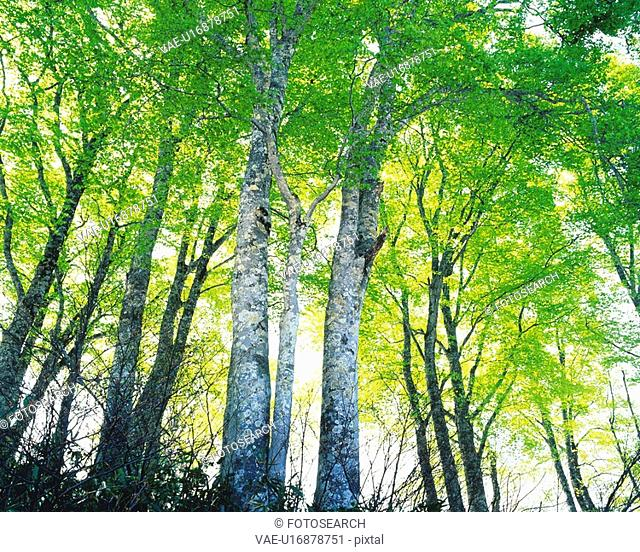 Several White Birches Standing in Line, Low Angle View