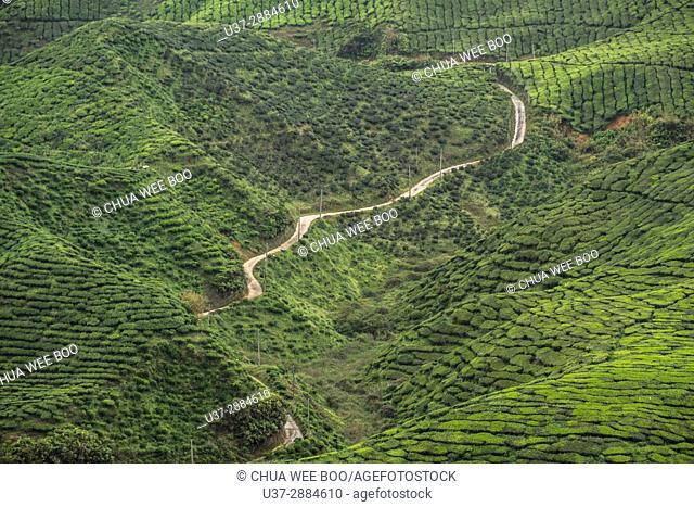 Tea plantation on green hills, Cameron Highland, Pahang, Malaysia
