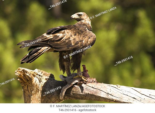 Golden eagle (Aquila chrysaetos). Photographed in the Natural Park Valle de Iruelas Avila