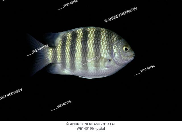 Sevenband damselfish, sevenband demoiselle or Seven-banded sergeant major (Abudefduf septemfasciatus) Indian Ocean, Hikkaduwa, Sri Lanka, South Asia