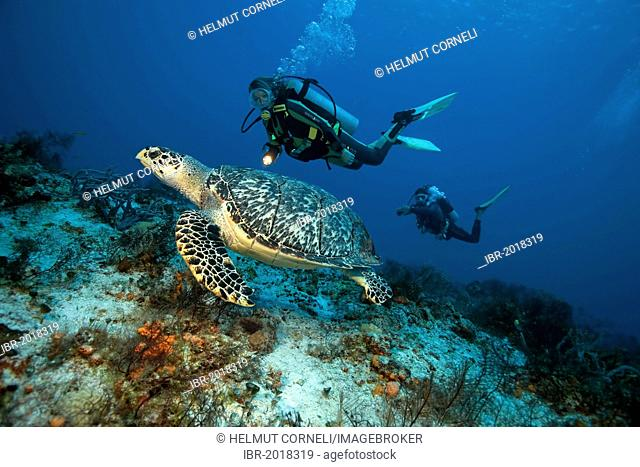 A diver and a hawksbill sea turtle (Eretmochelys imbricata), Cozumel, Mexico, Caribbean