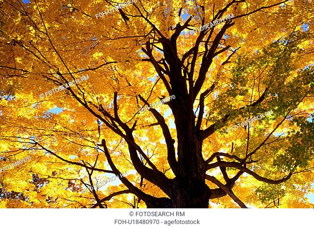 maple tree, fall, South Hadley, Massachusetts, MA, Looking up into the colorful leaves of a maple tree on the campus of Mount Holyoke College on a sunny autumn...