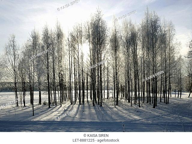 Frosty birchtree forest in the winter