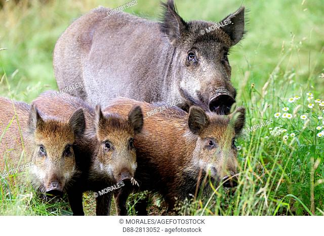 France, Haute Saone, Private park, Wild Boar (Sus scrofa), sow and youngs