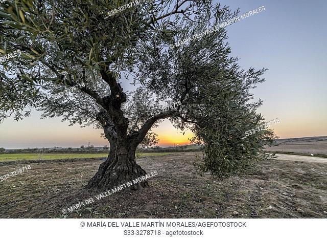 Sunrise between the olive trees. Pinto. Madrid. Spain. Europe