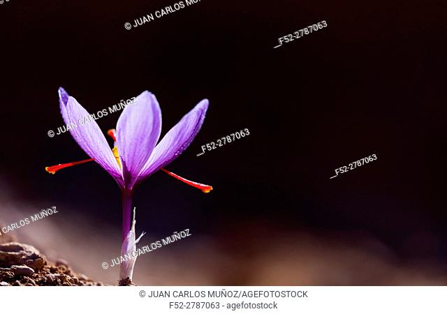 Cultivation of saffron, Valle del Set, Cervia de les Garrigues, Les Garrigues, Lleida province, Catalunya, Spain