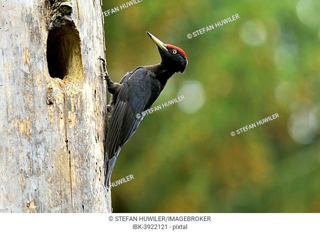 Black Woodpecker (Dryocopus martius) at the nest hole, Biebrza National Park, Poland
