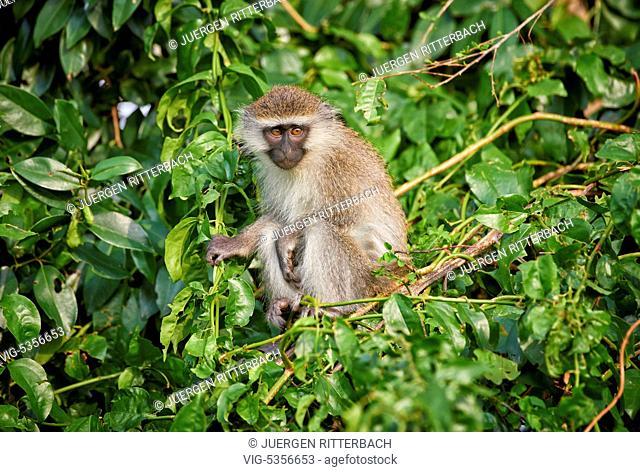 vervet monkey, Chlorocebus, Ishasha Sector, Queen Elizabeth National Park, Uganda, Africa - Uganda, 16/02/2015