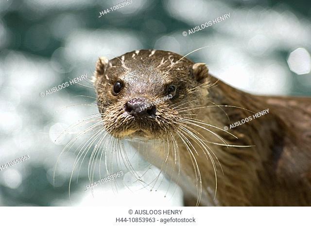 10853963, European otter, Lutra lutra, Animal, Ani