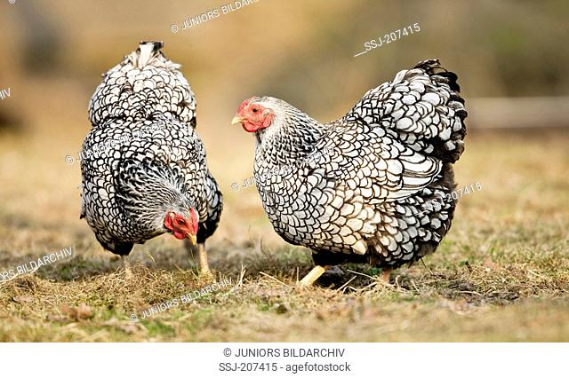 Wyandotte Bantam. Silver-laced hens foraging in dry grass. Germany