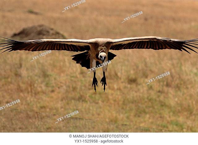 White backed vulture landing, Masai Mara National Reserve, Kenya