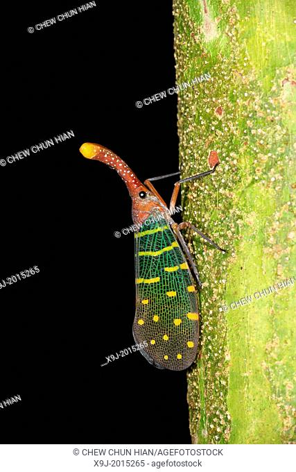 Lantern bug Pyrops canderlaria gunung gading national park, lundu, sarawak, Malaysia