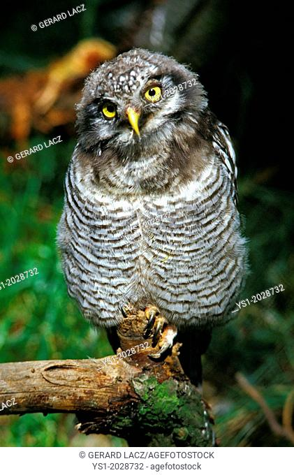 Northern Hawk Owl, surnia ulula, Immature