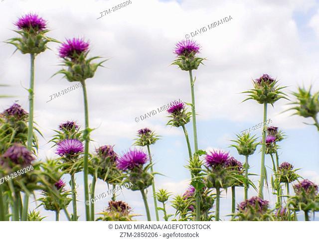Thistle purple flowers