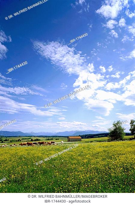 Flowering meadows in front of the Brauneck and Benediktenwand mountains near Grosseglsee Lake, Dietramszell, Upper Bavaria, Bavaria, Germany, Europe