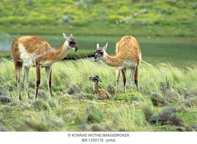 Guanacos (Lama guanicoe) with newborn, Torres del Paine National Park, Patagonia, Chile, South America