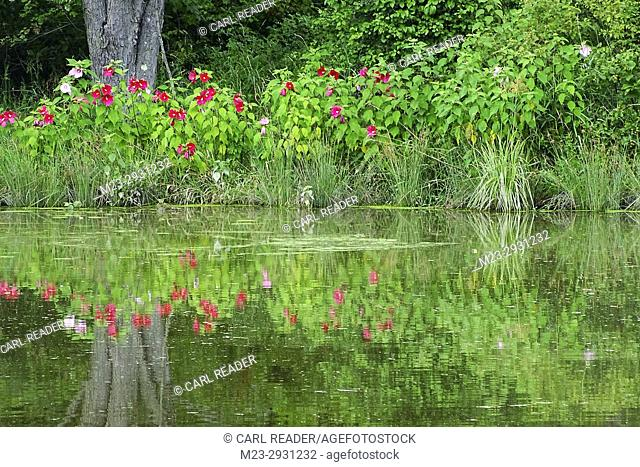Lakeside flowers reflected in water, Pennsylvania, USA