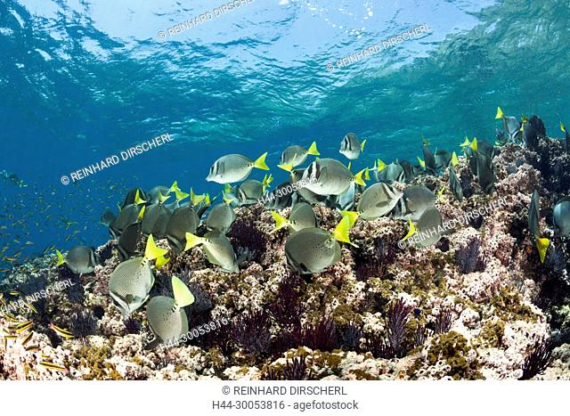 Shoal of Yellowtail Surgeonfish, Prionurus punctatus, La Paz, Baja California Sur, Mexico