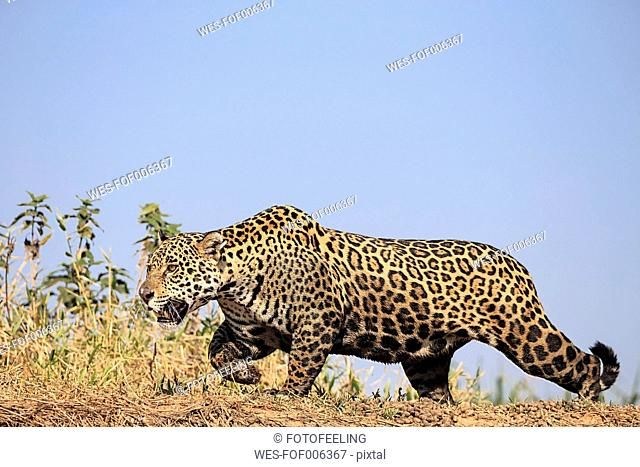 South America, Brasilia, Mato Grosso do Sul, Pantanal, Cuiaba River, Jaguar, Panthera onca