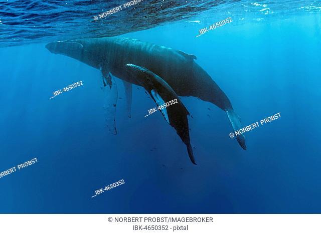 Humpback whale (Megaptera novaeangliae), dam with calf, Pacific Ocean, Rurutu, French Polynesia