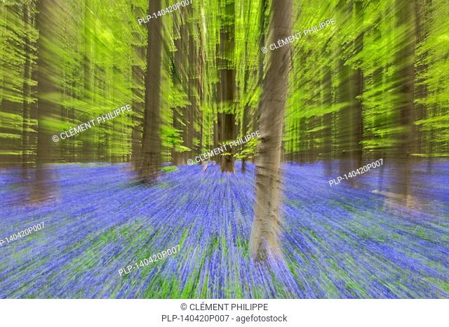 Abstract image of bluebells (Endymion nonscriptus) in flower in beech forest (Fagus sylvatica) in spring