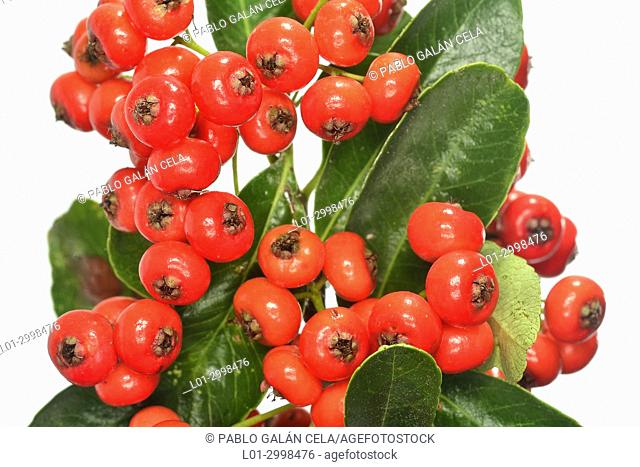 Pyracantha coccinea, fruits on white background