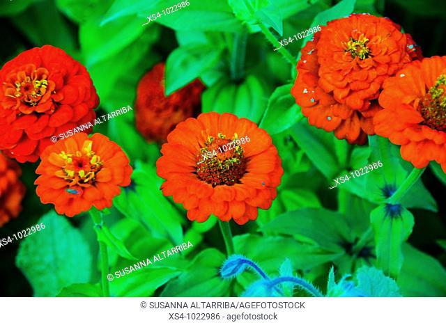 Red Zinnias elegans, Asteraceaes