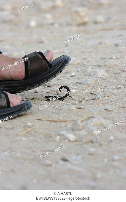 fattailed scorpion, fat-tailed scorpion, African fat-tailed scorpion Androctonus crassicauda, walking under sandale, Qatar